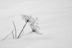 JanyClavier-fleur-des-neiges